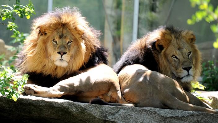 Löwen im Tierpark Hellabrunn in München