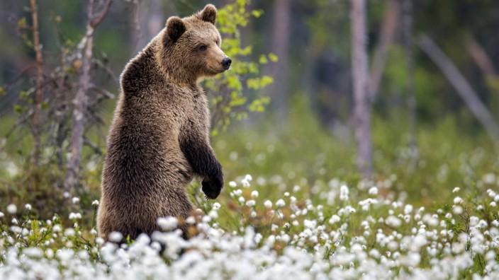 Europaeischer Braunbaer, Braunbaer, Braun-Baer (Ursus arctos arctos), steht aufrecht in bluehendem Wollgras, Finnland, K
