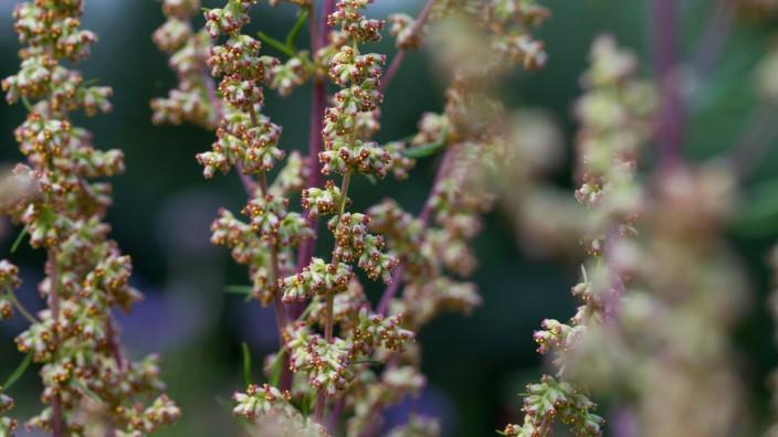 Gemeiner Beifuss Gewoehnlicher Beifuss Beifuss Artemisia vulgaris bluehend Deutschland common
