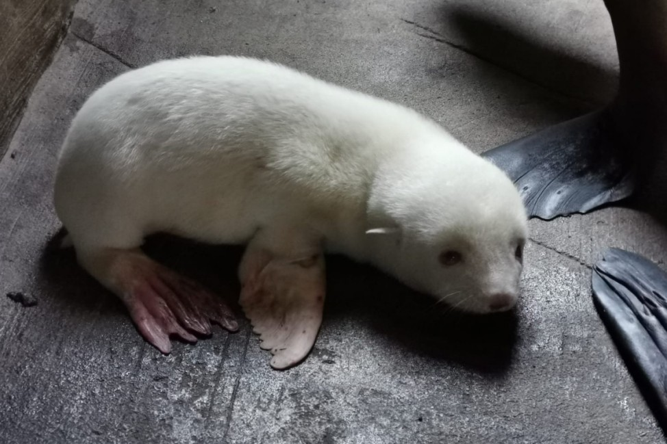 Weißes Seebärenbaby bei Hagenbeck geboren