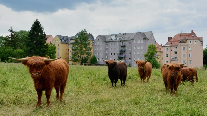 Hochlandrinder am Pfannenstiel: Wilde Weide in der Stadt Augsburg