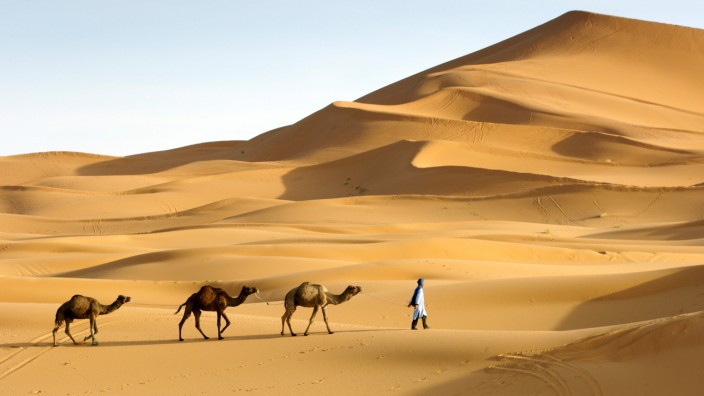 A Berber man leading his dromedary camels into the sand dunes of Erg Chebbi near Merzouga on the periphery of the Sahar