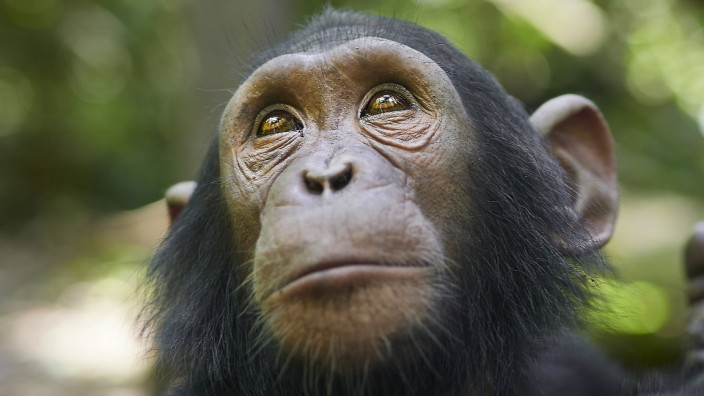 Cameroon, Pongo-Songo, Close-up of Chimpanzee (Pan troglodytes) VEGF02199