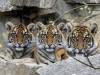 29.03.2019, Berlin, GER - Sibirische Tiger. (Amur-Tiger, Amurtiger, Artenschutz, Arterhaltung, aufmerksam, Aufmerksamke
