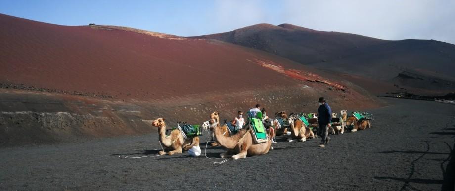 Kamele warten auf Lanzarote auf Touristen.