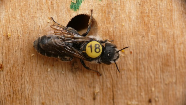 Wildbienen-Studie im Botanischen Garten