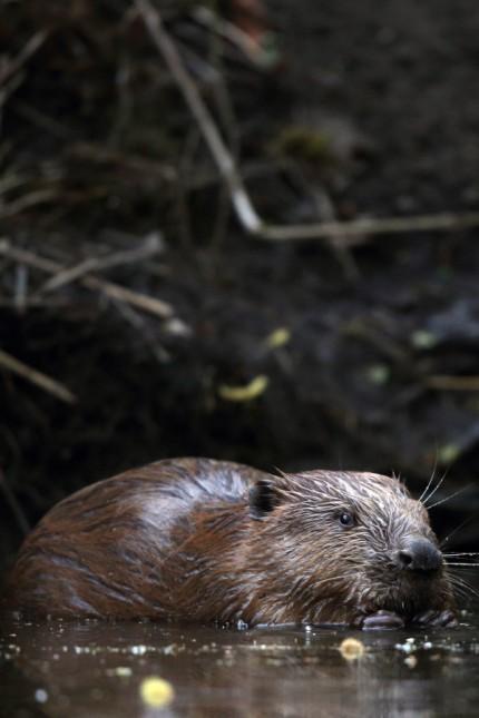 Biber Europaeischer Biber Castor fiber im Wasser Niederlande Eurasian beaver European beaver