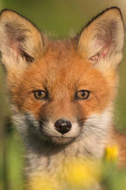 Rotfuchs, Rot-Fuchs (Vulpes vulpes), Portraet auf einer Wiese, Fuchswelpe, Estland, Soomaa Nationalpark red fox (Vulpes