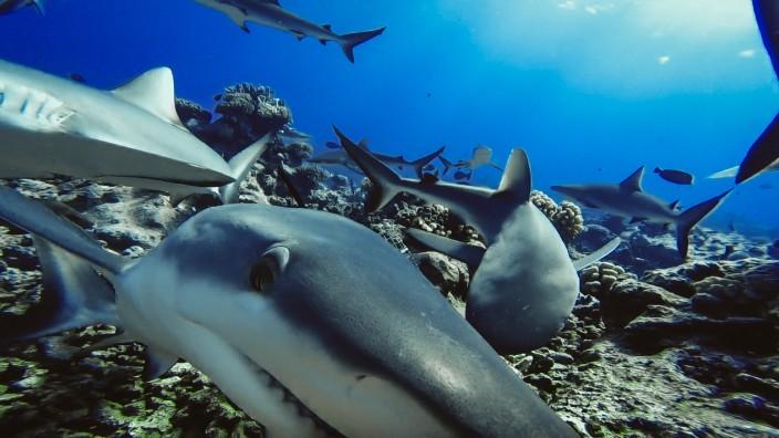 Weniger Haie an Riffen