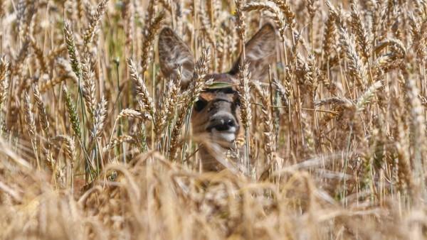 Reh in der Natur, Ein Reh nahe eines Weizenackers in Killingen bei Ellwangen an der Jagst. Ellwangen Baden-Württemberg D