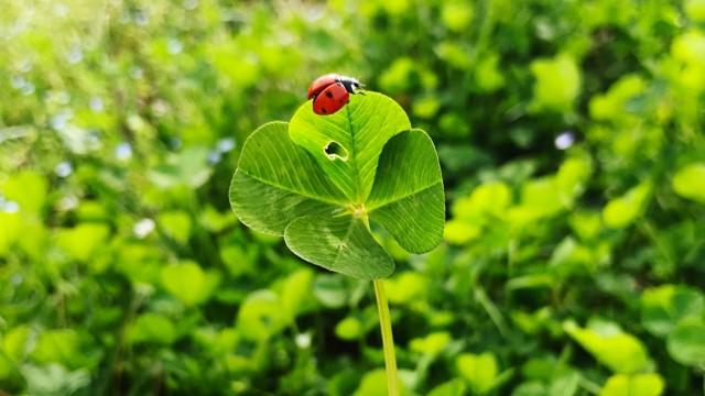 Lucky charm four leaf clover with a ladybug; Aberglaube
