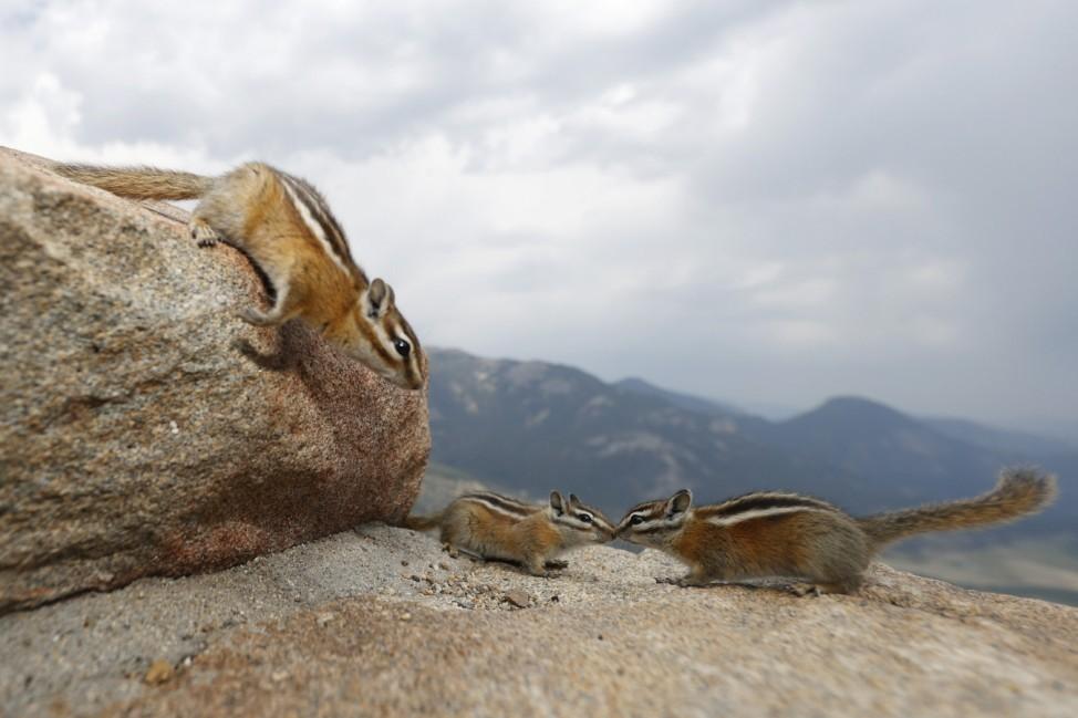 Streifenhörnchen im Rocky-Mountain-Nationalpark