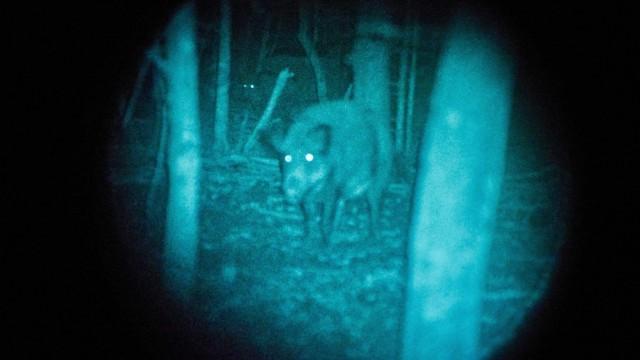 Wildschweinjagd mit Nachtsichgerät; Jagd