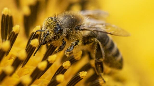 Wildbiene auf Sonnenblume