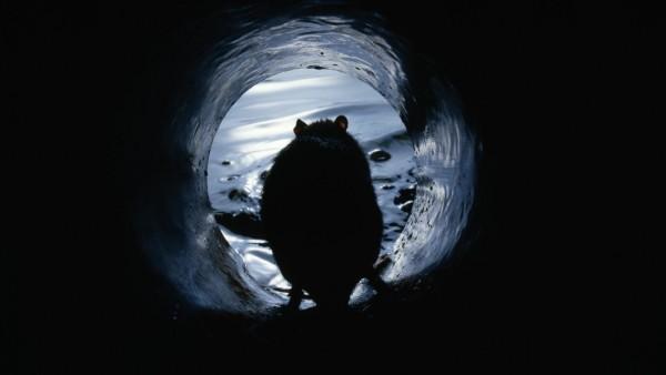 RATTUS NORVEGICUS Brown rat (Rattus norvegicus) in sewer outlet pipe. UK PUBLICATIONxINxGERxSUIxAUTxONLY 1288264 Stephe