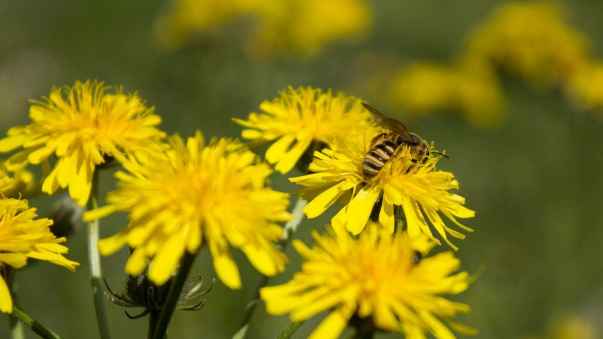 Germeringer Wildbienen
