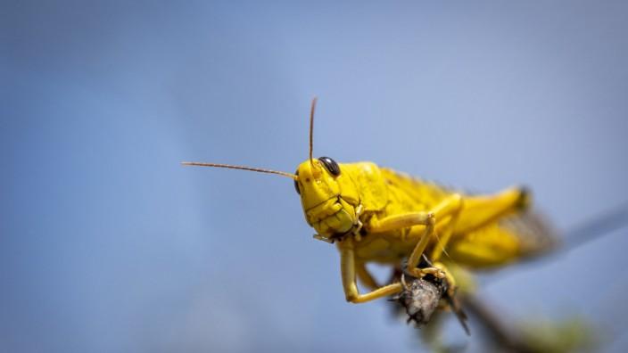 Heuschreckenplage in Kenia