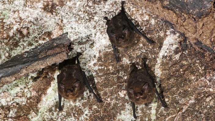 Group of Greater sac-winged bat (Saccopteryx bilineata) hangged in a tree, photographed in the city of Cariacica/ES Copy