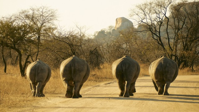 Rear view of rhino family walking on a dirt road, Kruger National Park, South Africa VEGF01919