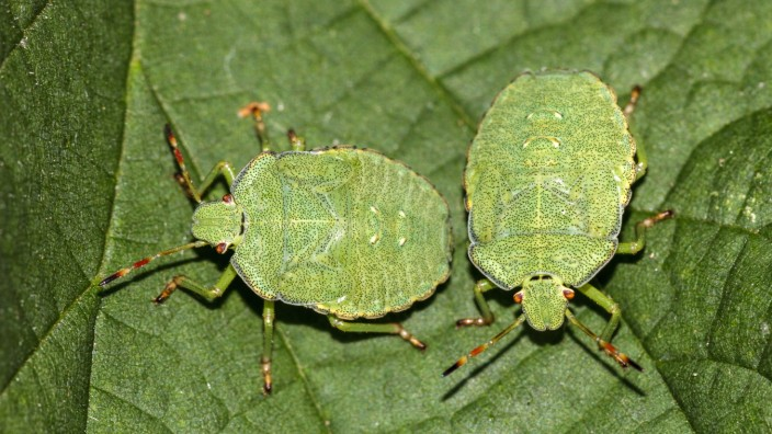 Grüne Stinkwanze (Palomena prasina) McPRMÜ *** Green Stink Bug Palomena prasina McPRMÜ McPRMÜ