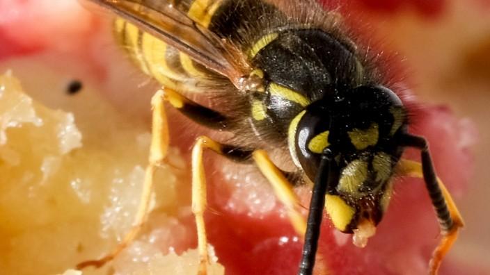Kuchen und Grillfleisch:Was hilft gegen Wespen?