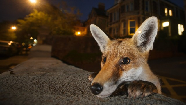 Young urban Red fox Vulpes vulpes poking its head up over a wall Bristol UK August PUBLICATION