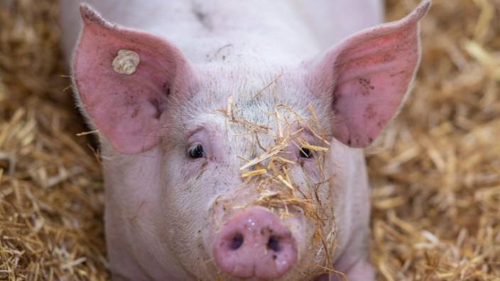 Landwirtschaft, Schweinehaltung auf Stroh. Deutschland *** Agriculture, pig farming on straw Germany