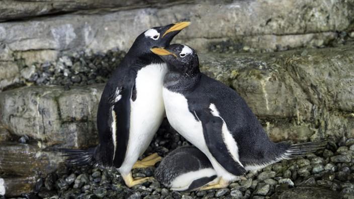 lesbisches Pinguin-Paar, das vor einer Woche ein Ei im spanischen Ozeaneum Oceanogràfic Valencia adoptiert hat