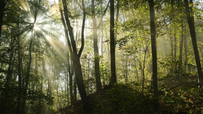 Sonnendurchfluteter Laubwald mit Linden Tilia und Bergahorn Acer pseudoplatanus Nationalpark Ha