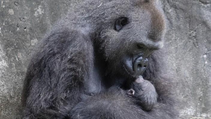 Westlicher Flachlandgorilla-Nachwuchs im Audubon Zoo