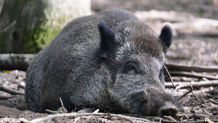 u.B.z. Wildschweine im Wildtiergehege in verschidenen Aktionen. Offenes Wildschweingehege *** u B z Wild boar in wild a