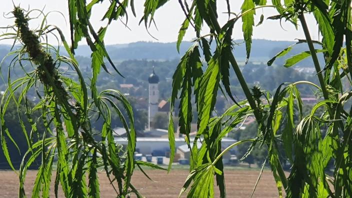 """Hanf in Grafing: Es sind keine Weinranken, die die Grafinger Stadtansicht hier so idyllisch einrahmen. Auch an der Wasserreserve hat der """"Gärtner von Grafing"""" Samen ausgesät"""