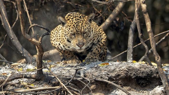 Jaguar, Panantal, Brasilien, Waldbrände