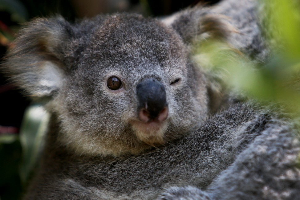 NSW Works To Save The Koala As Bushfires, Habitat Loss And Disease Threaten Future Of Australia's Iconic Animal