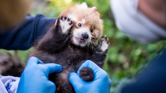 Tierpark Hellabrunn - Roter Panda; Nachwuchs bei den roten Pandas - Tierpark Hellabrunn