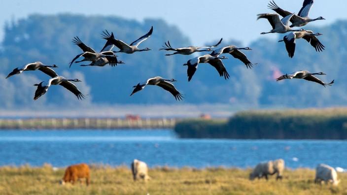 Kraniche über Fischland-Darß