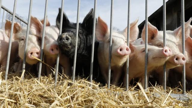 Afrikanische Schweinepest Deutschland