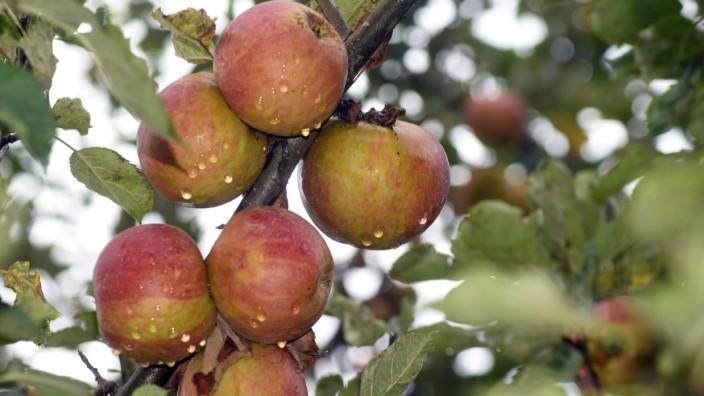 Fremde Früchte: Manche Kommunen laden ihre Bürger und Bürgerinnen zur Obsternte ein.