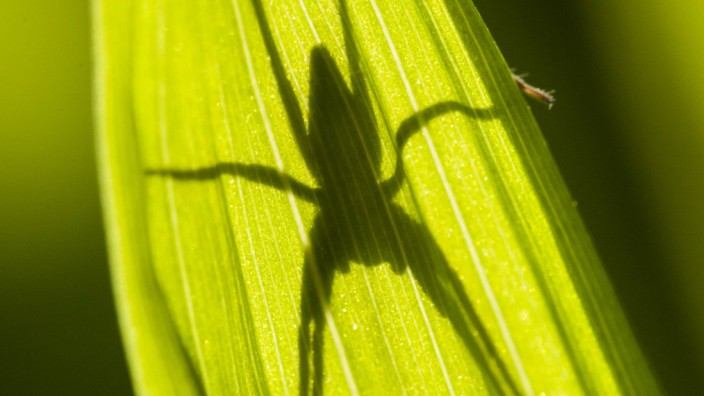 Spider shadow on green leaf in sun Spider shadow on green leaf in sun backlight PUBLICATIONxINxGERxSUIxAUTxONLY Copyrigh