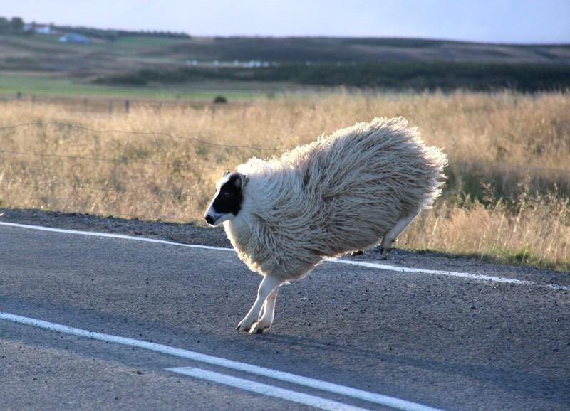 Island Schafabtrieb Schafe Abtrieb Herbst Reise Iceland