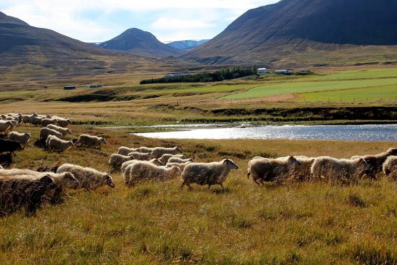 Island Schafabtrieb Schafe Abtrieb Herbst Reise Iceland Bilder