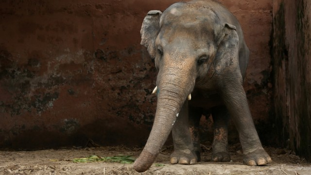 Kavaan the elephant stands at his enclosure at the Marghazar Zoo in Islamabad