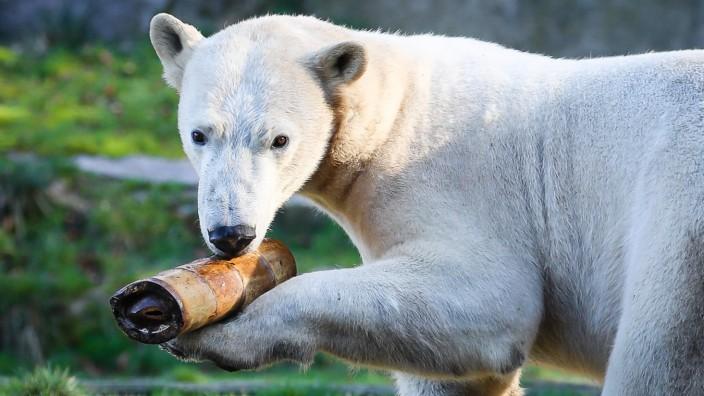 Zwei neue Eisbären in Hellabrunner Polarwelt eingezogen