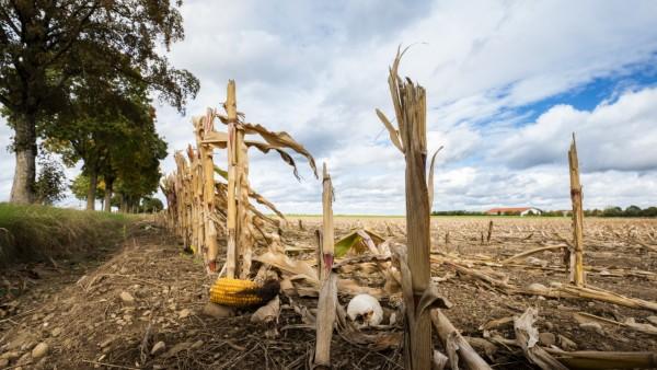 Taufkirchen, Sauerlach, Feld nach der Ernte, Oktober, abgeerntetes Maisfeld, Foto: Angelika Bardehle
