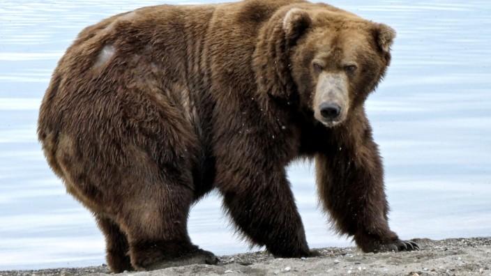 """´Fat Bear""""-Wahlen"""