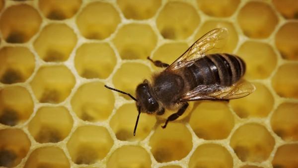 Biene auf Honigwabe