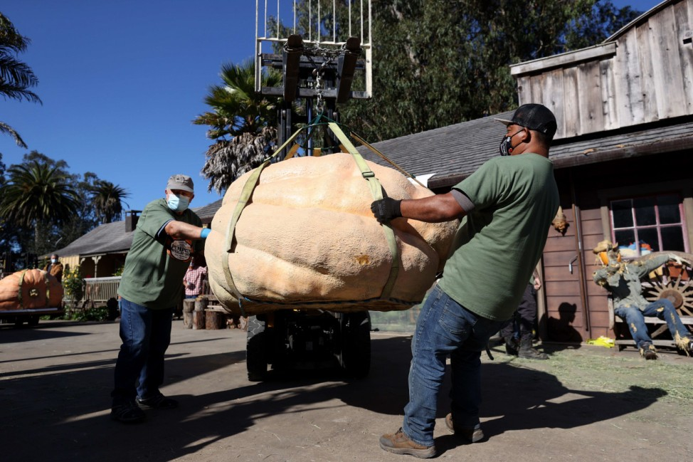 World Championship Pumpkin Weigh-Off Takes Place In Northern California