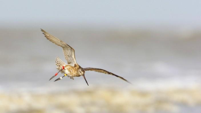 Pfuhlschnepfe, Pfuhl-Schnepfe (Limosa lapponica), fliegt ueber der Nordsee, Niederlande, Terschelling bar-tailed godwit