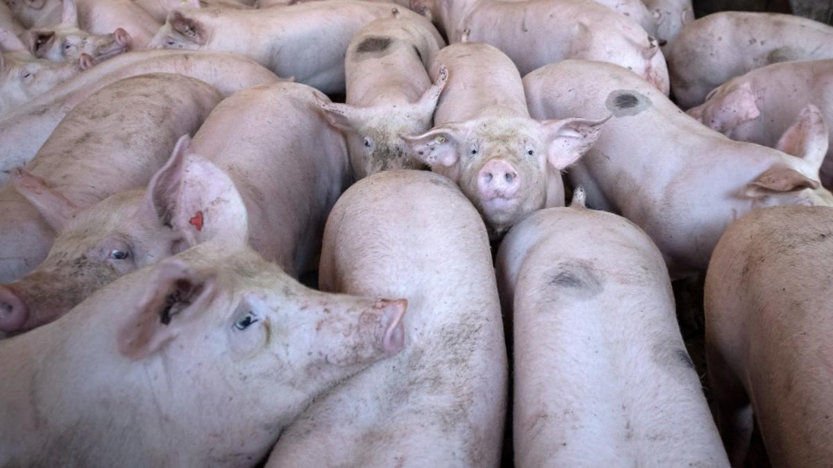 """Schweinezucht - """"Manche werden zur Waffe greifen"""""""
