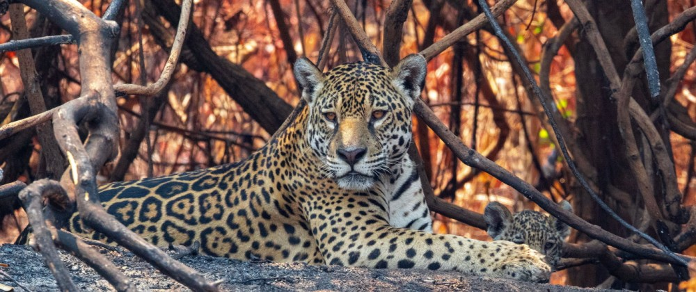 CORUMBÁ, MS - 03.10.2020: BURNING IN PANTANAL MT - Jaguar with its cub amid burning vegetation on the banks of the Três